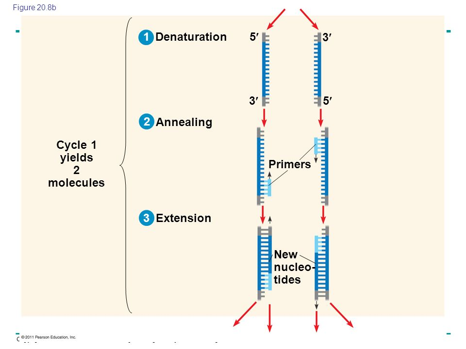 Copyright © 2005 Pearson Education, Inc. publishing as Benjamin Cummings Denaturation Annealing Extension Primers New nucleo- tides Cycle 1 yields 2 m