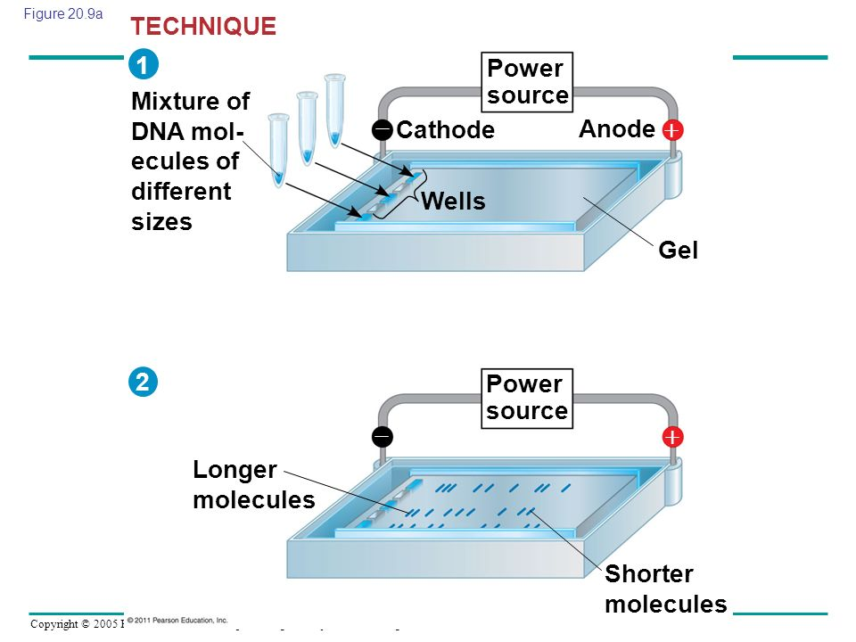 Copyright © 2005 Pearson Education, Inc. publishing as Benjamin Cummings Figure 20.9a Mixture of DNA mol- ecules of different sizes Power source Longe