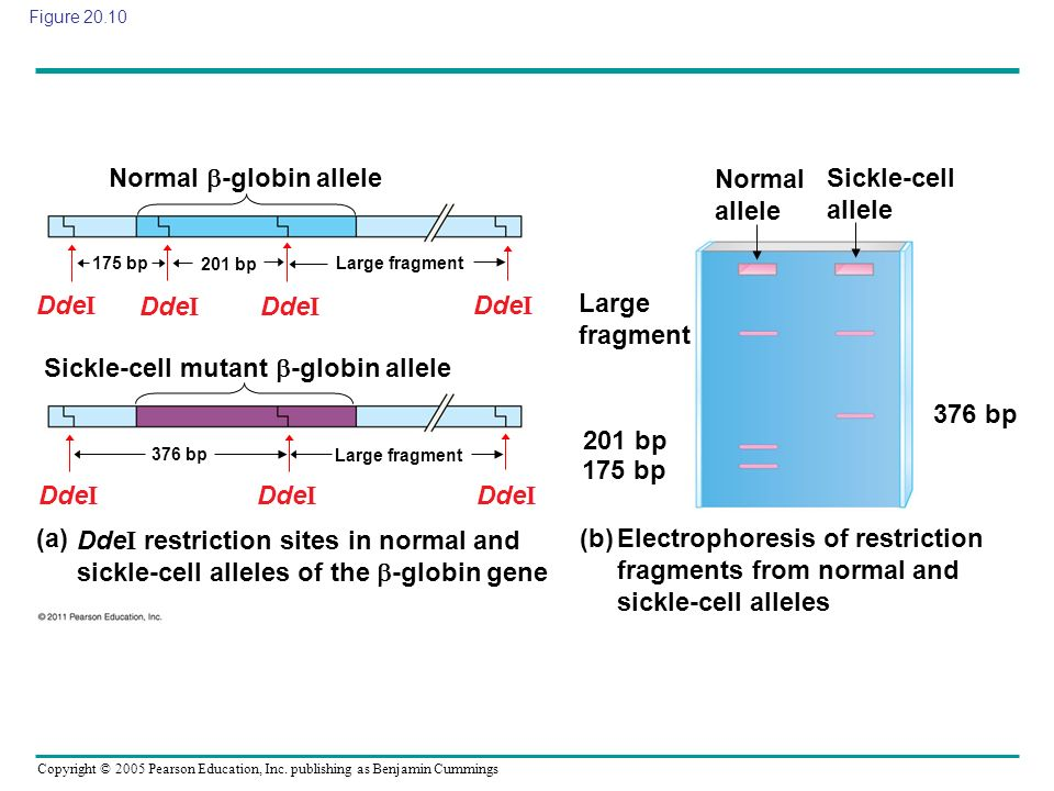 Copyright © 2005 Pearson Education, Inc. publishing as Benjamin Cummings Figure 20.10 Normal -globin allele Sickle-cell mutant -globin allele Large fr