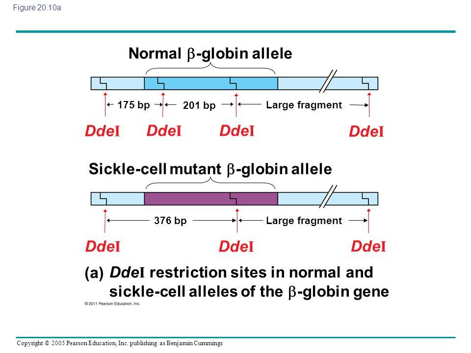 Copyright © 2005 Pearson Education, Inc. publishing as Benjamin Cummings Figure 20.10a Normal -globin allele Sickle-cell mutant -globin allele (a) Dde