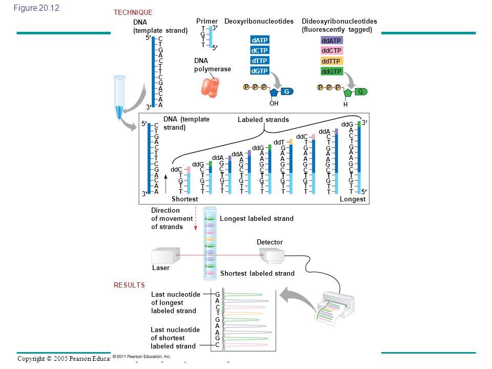 Copyright © 2005 Pearson Education, Inc. publishing as Benjamin Cummings Figure 20.12 DNA (template strand) TECHNIQUE 5 3 C C C C T T T G G A A A A G