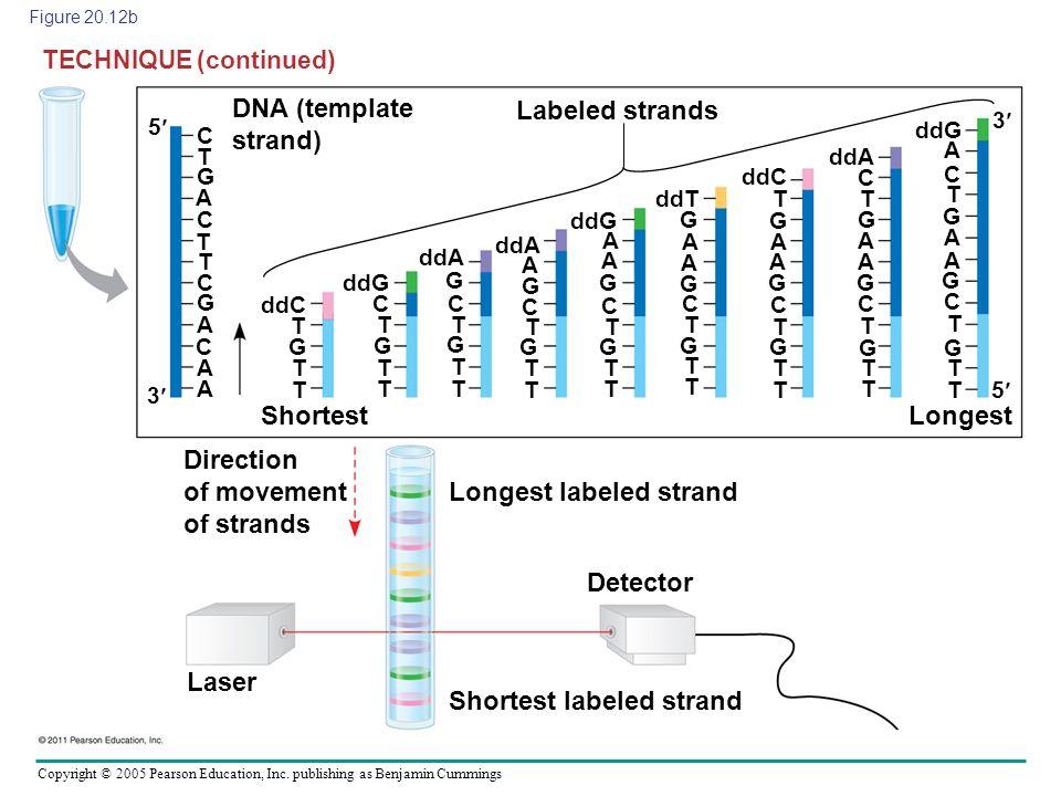 Copyright © 2005 Pearson Education, Inc. publishing as Benjamin Cummings Figure 20.12b DNA (template strand) Labeled strands ShortestLongest Direction