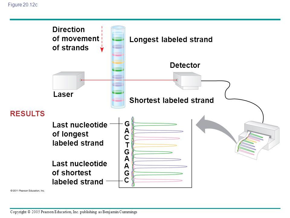 Copyright © 2005 Pearson Education, Inc. publishing as Benjamin Cummings Figure 20.12c RESULTS Last nucleotide of longest labeled strand Last nucleoti
