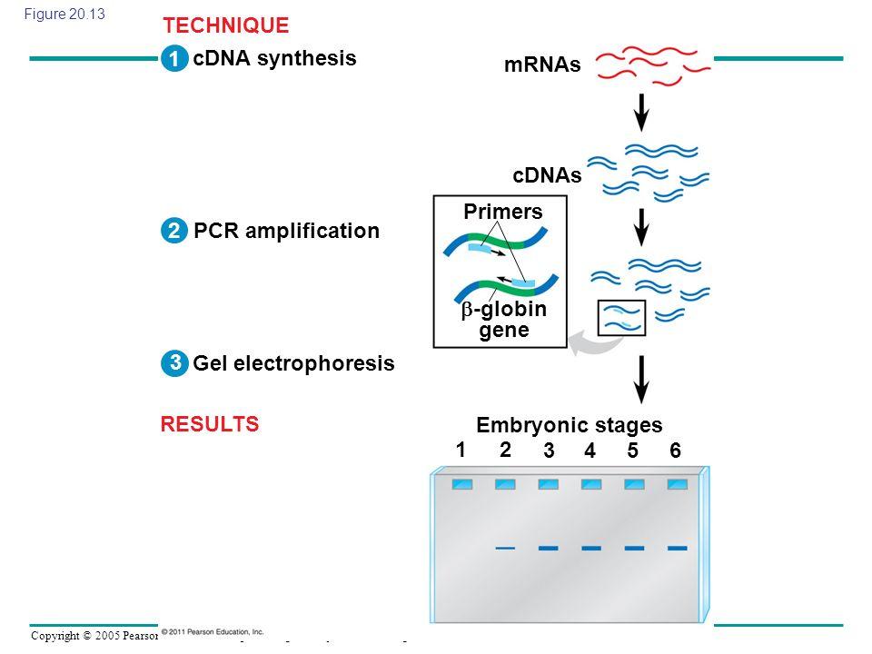 Copyright © 2005 Pearson Education, Inc. publishing as Benjamin Cummings Figure 20.13 cDNA synthesis PCR amplification Gel electrophoresis mRNAs cDNAs