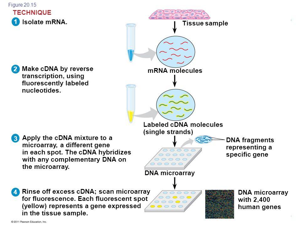 Copyright © 2005 Pearson Education, Inc. publishing as Benjamin Cummings Isolate mRNA. 21 3 4 TECHNIQUE Make cDNA by reverse transcription, using fluo