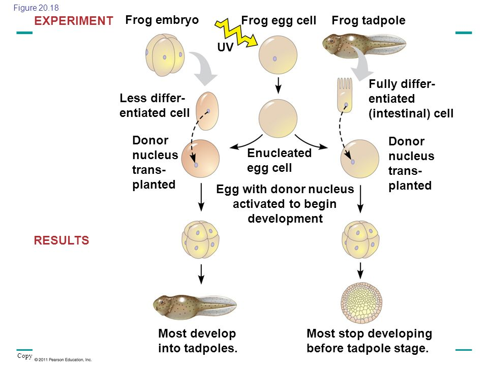 Copyright © 2005 Pearson Education, Inc. publishing as Benjamin Cummings Frog embryo Frog egg cellFrog tadpole UV Less differ- entiated cell Donor nuc