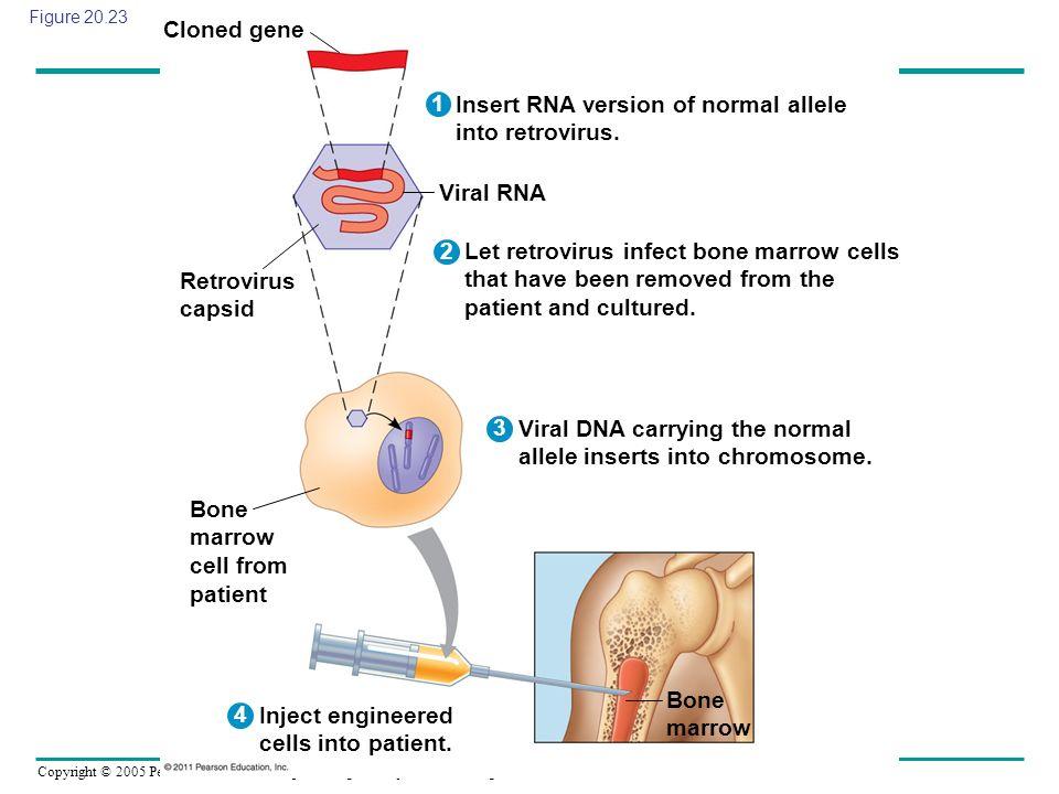 Copyright © 2005 Pearson Education, Inc. publishing as Benjamin Cummings Figure 20.23 Cloned gene 2 1 3 4 Retrovirus capsid Bone marrow cell from pati