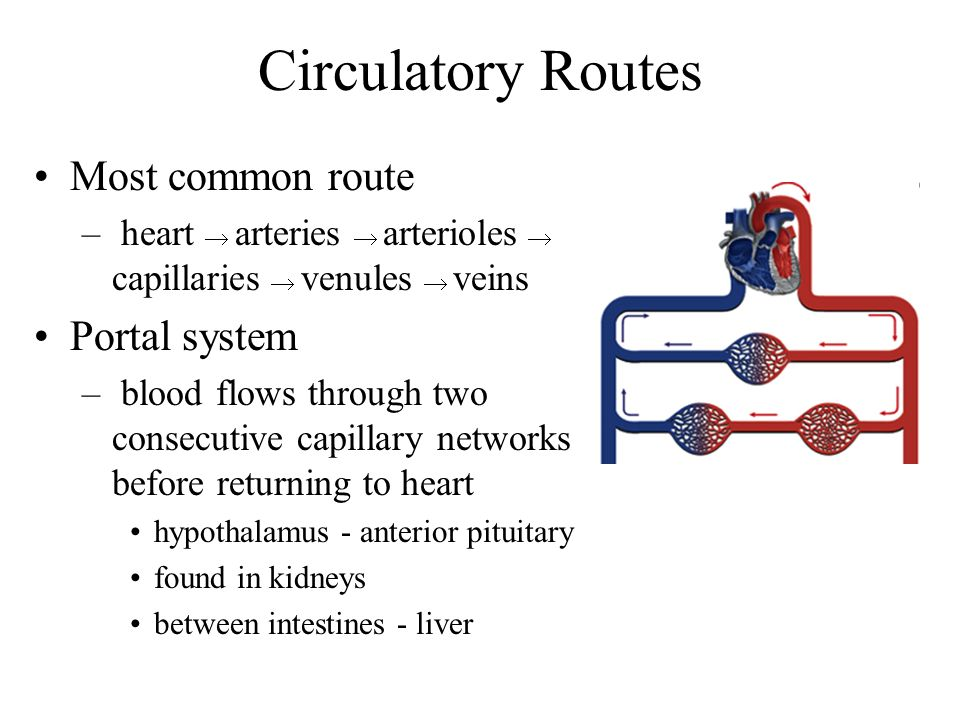 Circulation Routes: Anastomoses Anastomosis = point where 2 blood vessesl merge Arteriovenous shunt –artery flows directly into vein –fingers, toes, ears; heat loss, allows blood to bypass exposed areas during cold Venous anastomosis –most common, blockage less serious –alternate drainage of organs Arterial anastomosis –collateral circulation (coronary)