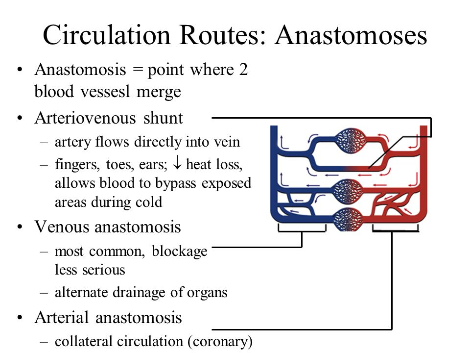 Circulation Routes: Anastomoses Anastomosis = point where 2 blood vessesl merge Arteriovenous shunt –artery flows directly into vein –fingers, toes, e