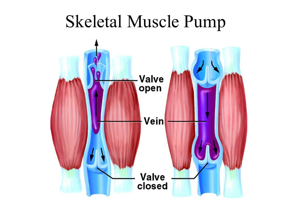 Skeletal Muscle Pump