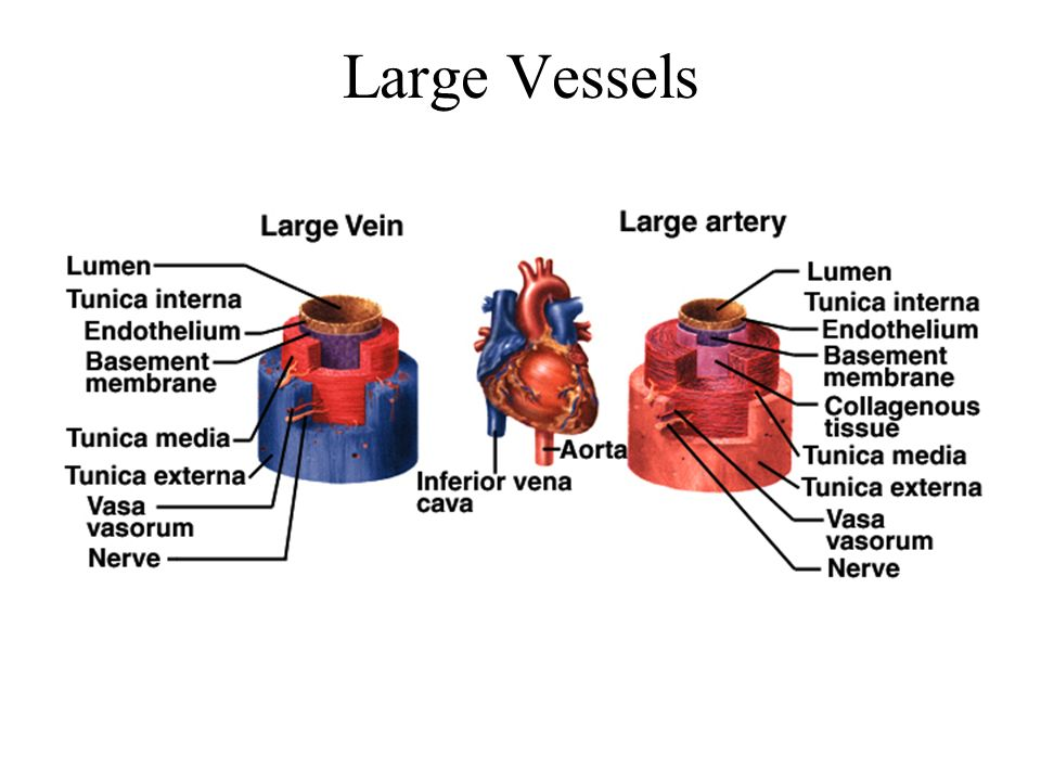 Flow at Different Points From aorta to capillaries, flow for 3 reasons –greater distance traveled, more friction to flow –smaller radii of arterioles and capillaries –farther from the heart, greater the total cross sectional area From capillaries to vena cava, flow again –large amount of blood forced into smaller channels –never regains velocity of large arteries