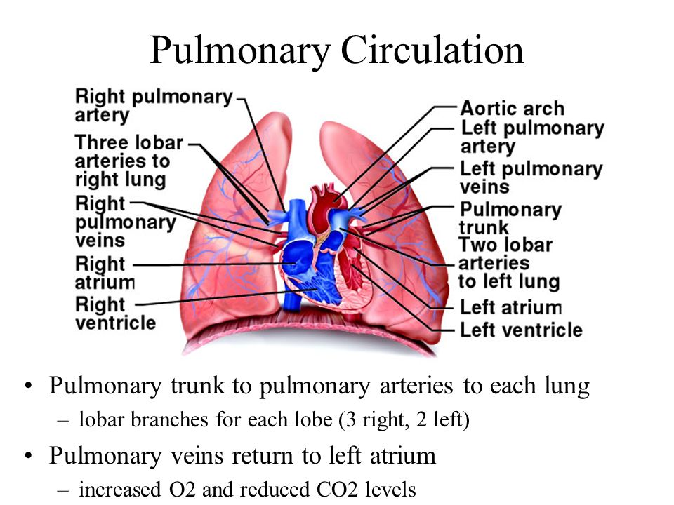 Pulmonary Circulation Pulmonary trunk to pulmonary arteries to each lung –lobar branches for each lobe (3 right, 2 left) Pulmonary veins return to lef