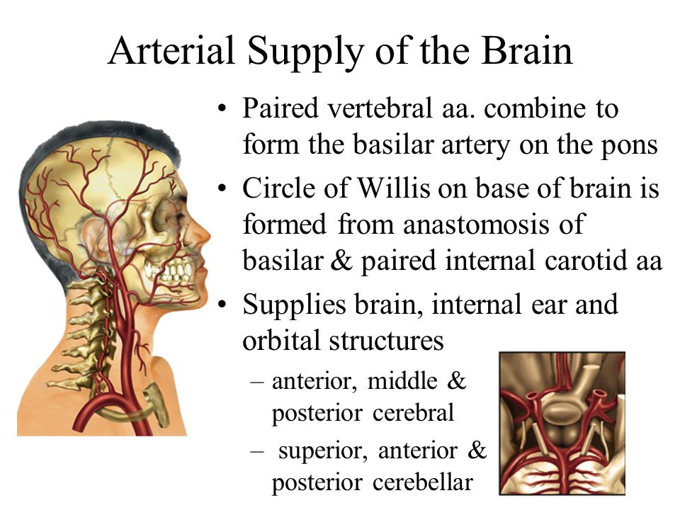 Arterial Supply of the Brain Paired vertebral aa. combine to form the basilar artery on the pons Circle of Willis on base of brain is formed from anas