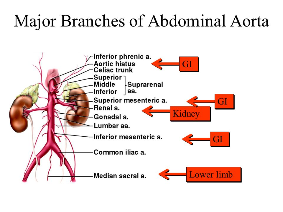 Major Branches of Abdominal Aorta Kidney GI Lower limb