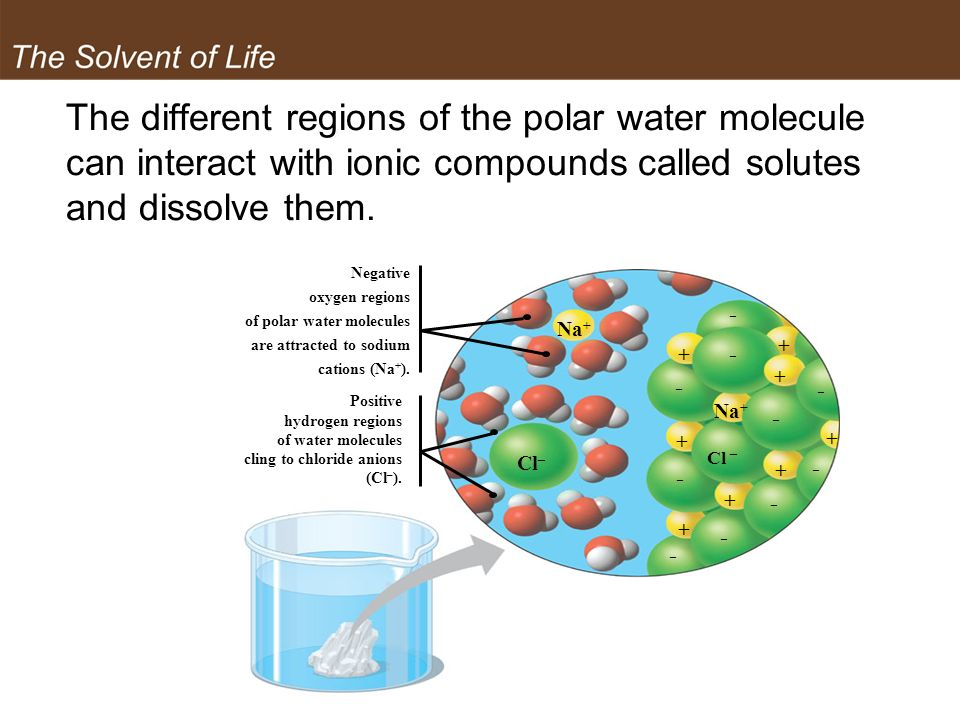 The different regions of the polar water molecule can interact with ionic compounds called solutes and dissolve them. Negative oxygen regions of polar