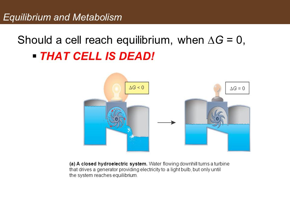 Equilibrium and Metabolism Should a cell reach equilibrium, when G = 0, THAT CELL IS DEAD! (a) A closed hydroelectric system. Water flowing downhill t