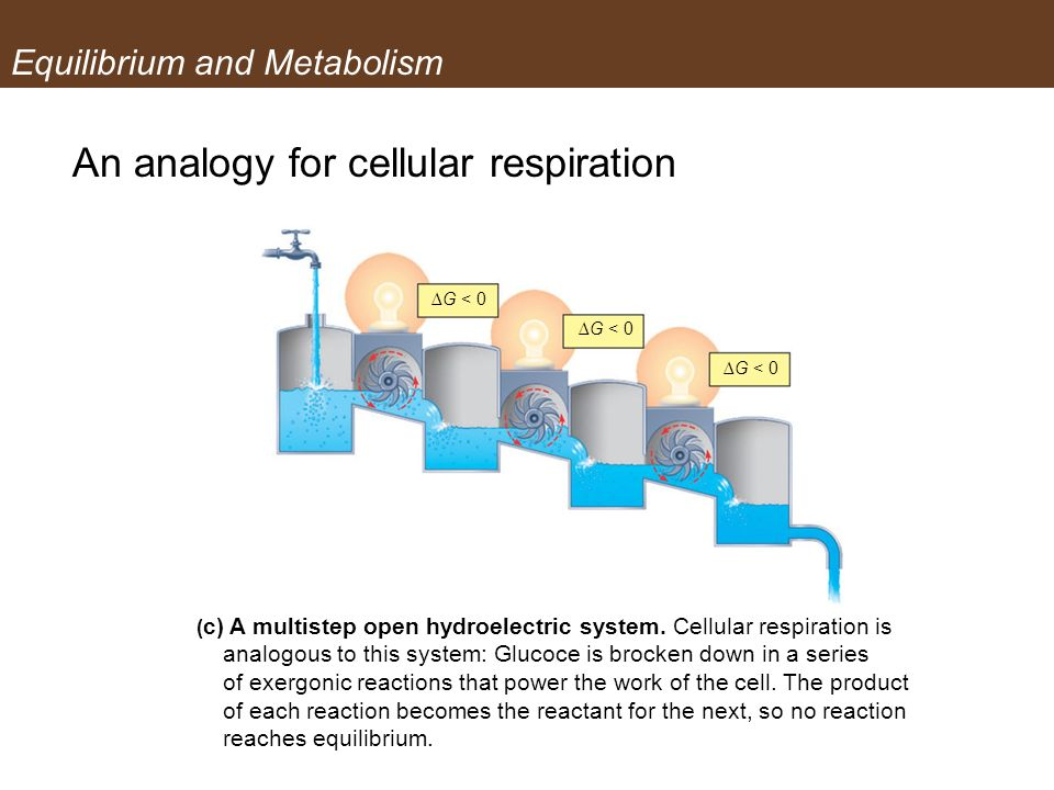 Equilibrium and Metabolism An analogy for cellular respiration ( c) A multistep open hydroelectric system. Cellular respiration is analogous to this s