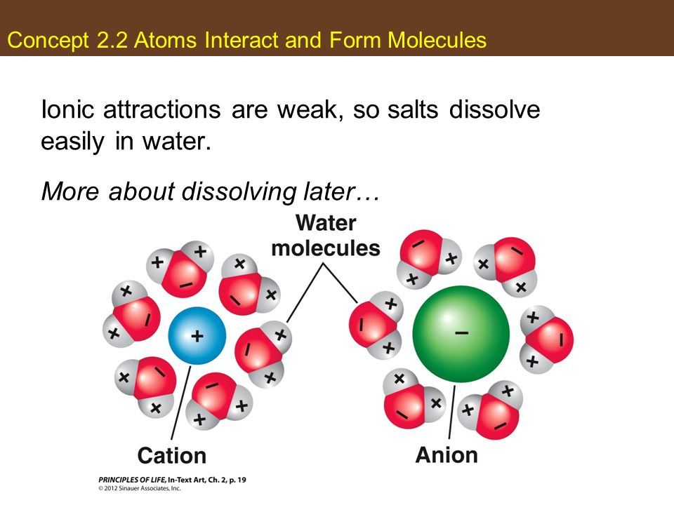 Concept 2.2 Atoms Interact and Form Molecules Ionic attractions are weak, so salts dissolve easily in water. More about dissolving later…