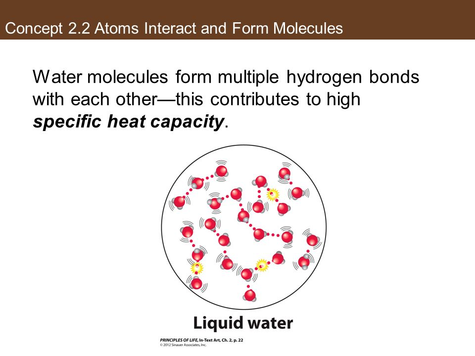 Concept 2.2 Atoms Interact and Form Molecules Water molecules form multiple hydrogen bonds with each otherthis contributes to high specific heat capac