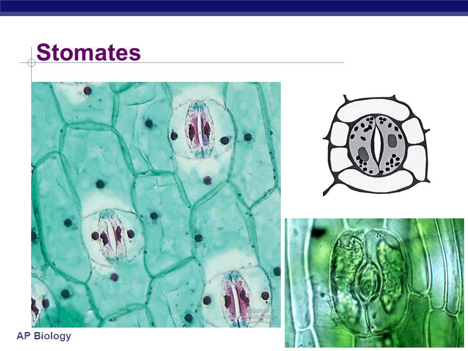 AP Biology stomate transpiration