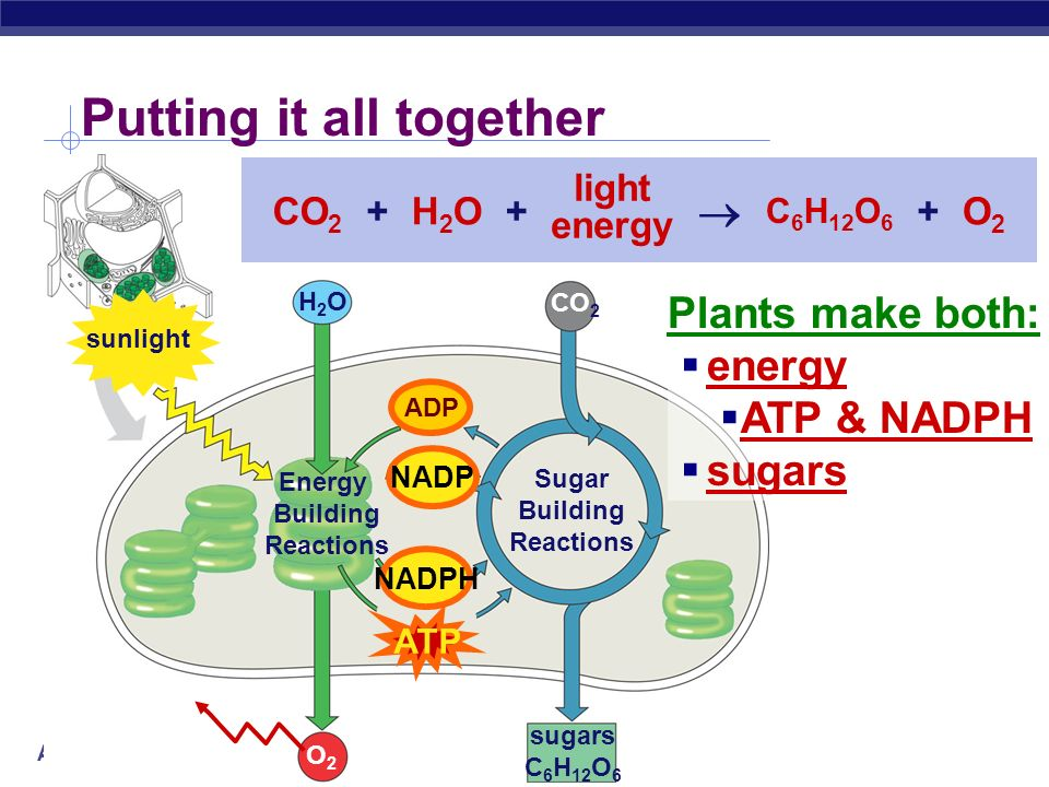 AP Biology Calvin Cycle sugars C 6 H 12 O 6 CO 2 Sugar Building Reactions ADP builds sugars uses ATP & NADPH recycles ADP & NADP back to make more ATP