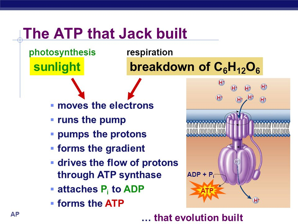 AP Biology Light reactions Electron Transport Chain membrane-bound proteins in organelle electron acceptors NADPH proton (H + ) gradient across inner