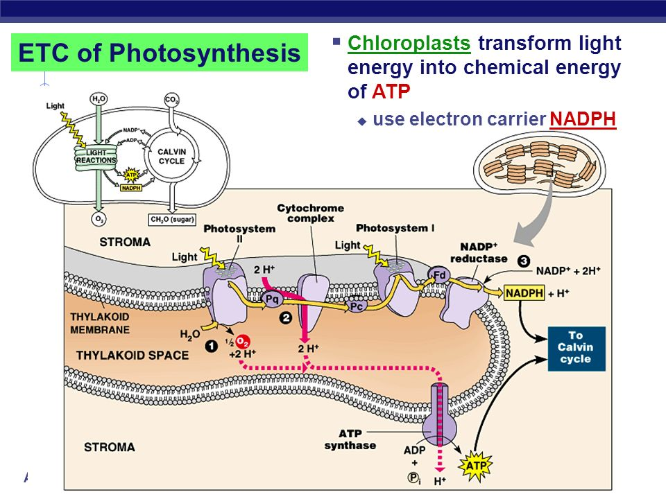 AP Biology ETC of Respiration Mitochondria transfer chemical energy from food molecules into chemical energy of ATP use electron carrier NADH generate