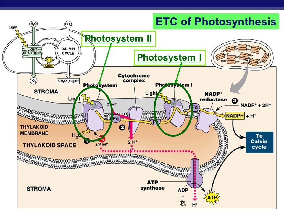 AP Biology Photosystems of photosynthesis 2 photosystems in thylakoid membrane collections of chlorophyll molecules act as light-gathering antenna com