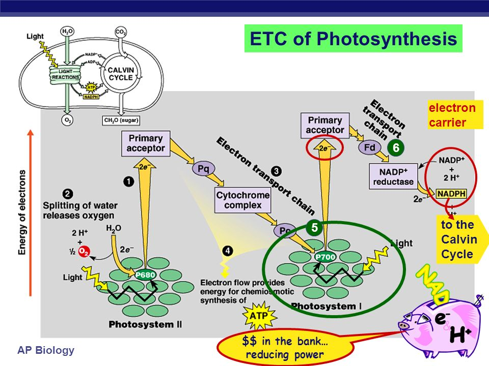 AP Biology 1 2 H+H+ H+H+ 3 4 H+H+ ADP + P i H+H+ H+H+ H+H+ H+H+ H+H+ H+H+ H+H+ H+H+ ATP ETC of Photosynthesis to the Calvin Cycle