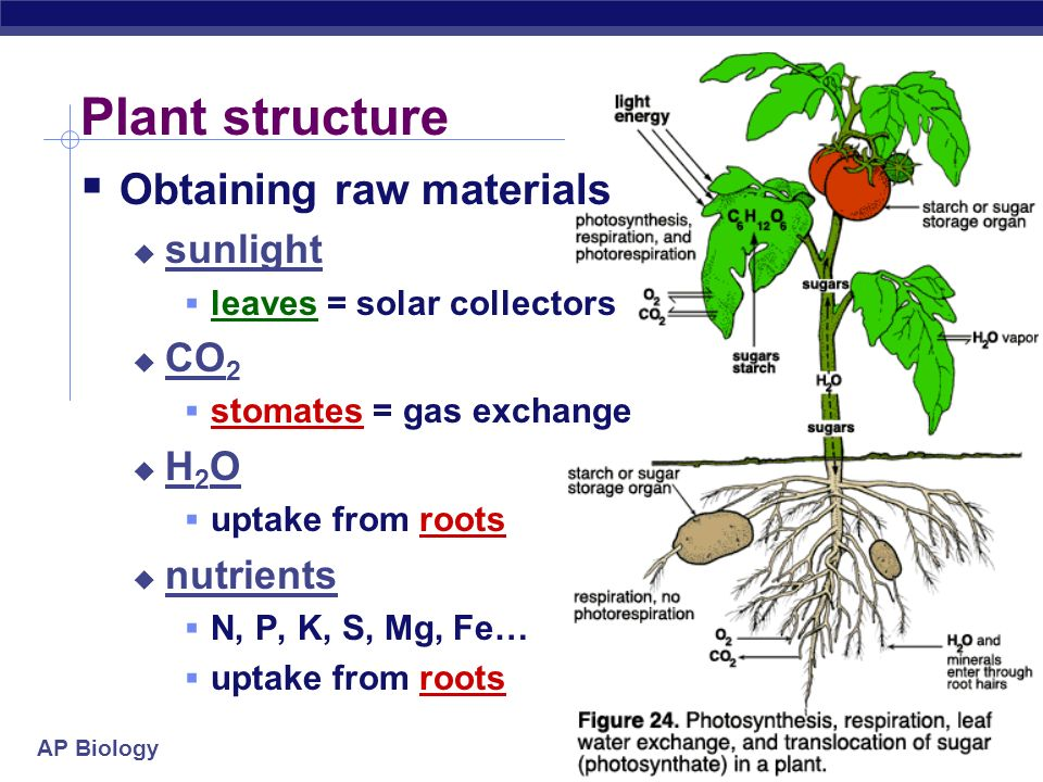 AP Biology N P K … H2OH2O What does it mean to be a plant Need to… collect light energy transform it into chemical energy store light energy in a stab