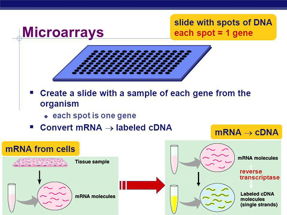 AP Biology Where do we go next…. When a gene is turned on, it creates a trait want to know what gene is being expressed proteinRNADNAtrait extract mRN