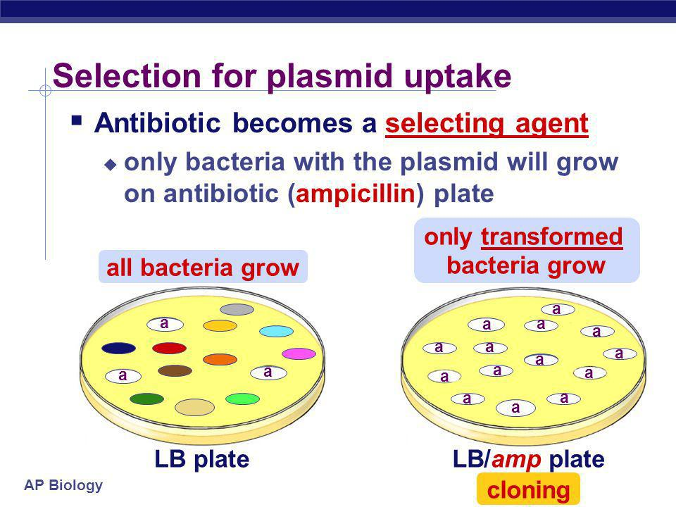 AP Biology Engineered plasmids Selectable marker antibiotic resistance gene on plasmid ampicillin resistance selecting for successful transformation s