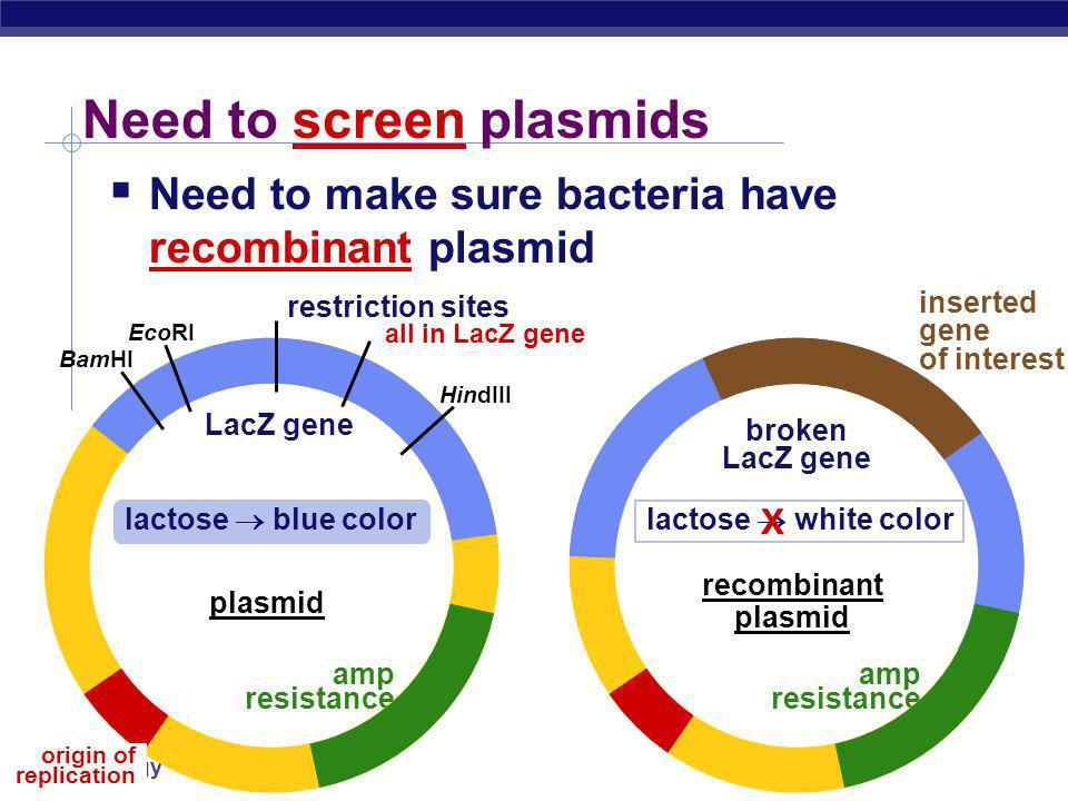AP Biology Selection for plasmid uptake Antibiotic becomes a selecting agent only bacteria with the plasmid will grow on antibiotic (ampicillin) plate