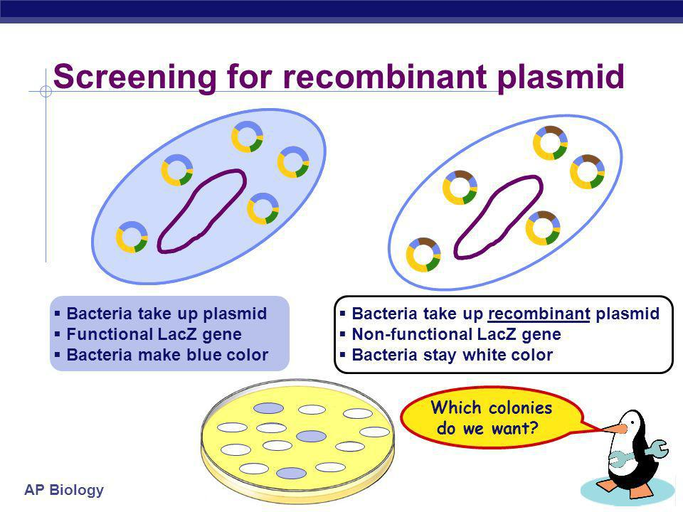 AP Biology Need to screen plasmids Need to make sure bacteria have recombinant plasmid plasmid amp resistance LacZ gene restriction sites lactose blue