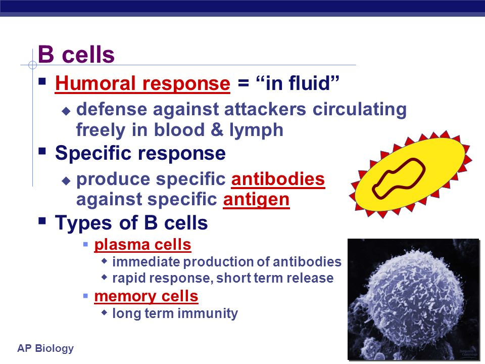AP Biology Lymphocytes B cells mature in bone marrow humoral response system humors = body fluids produce antibodies T cells mature in thymus cellular
