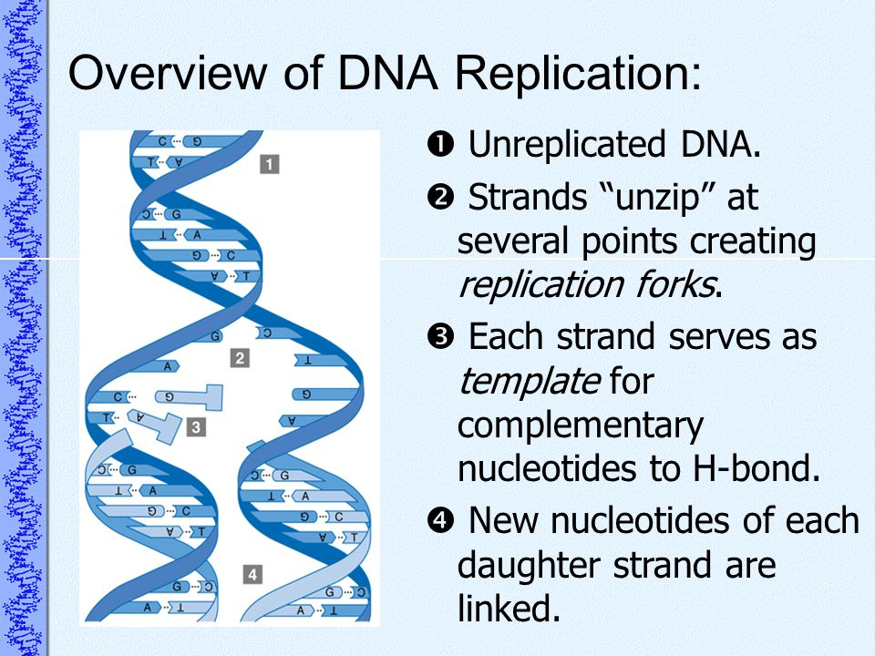 Overview of DNA Replication: Unreplicated DNA. Strands unzip at several points creating replication forks. Each strand serves as template for compleme