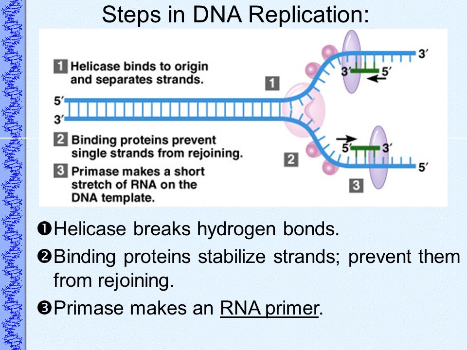 Steps in DNA Replication: Helicase breaks hydrogen bonds. Binding proteins stabilize strands; prevent them from rejoining. Primase makes an RNA primer