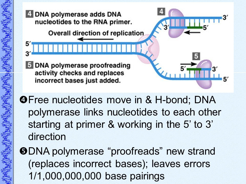 Free nucleotides move in & H-bond; DNA polymerase links nucleotides to each other starting at primer & working in the 5 to 3 direction DNA polymerase