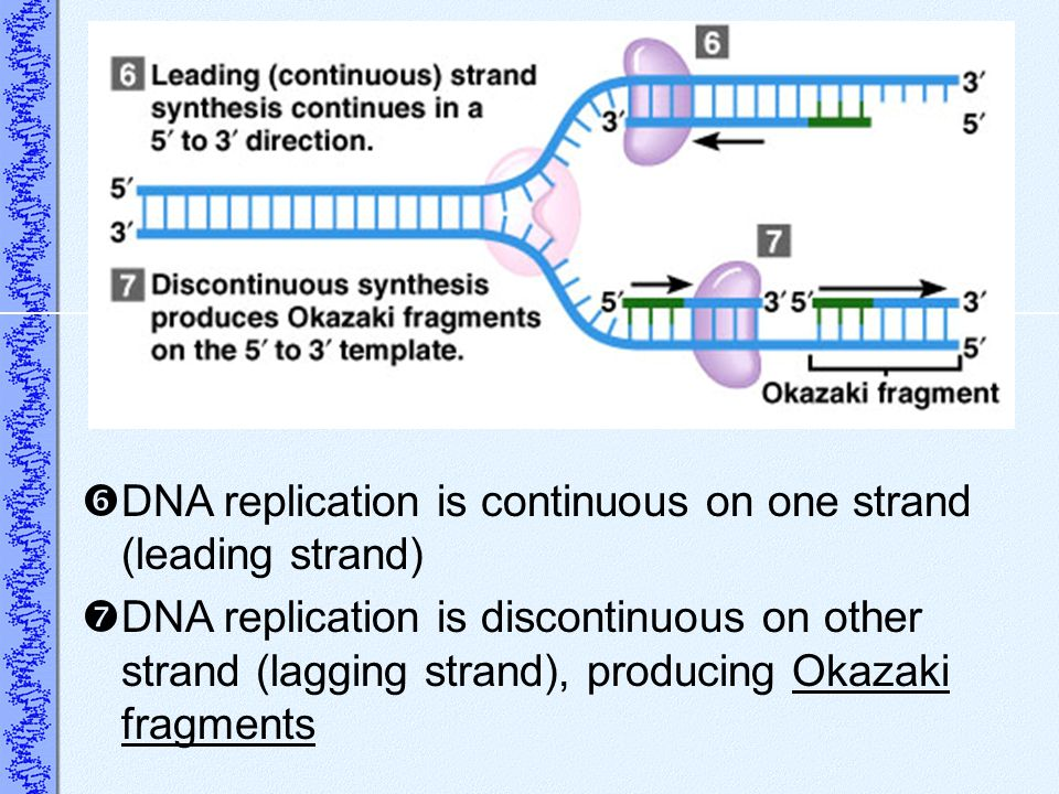 DNA replication is continuous on one strand (leading strand) DNA replication is discontinuous on other strand (lagging strand), producing Okazaki frag