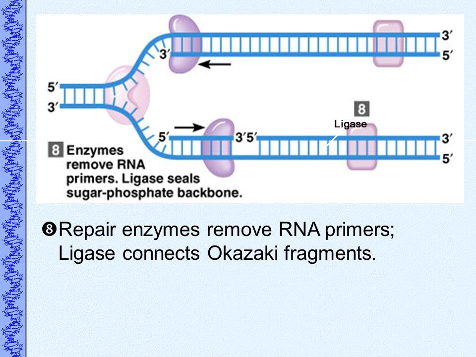 Repair enzymes remove RNA primers; Ligase connects Okazaki fragments. Ligase