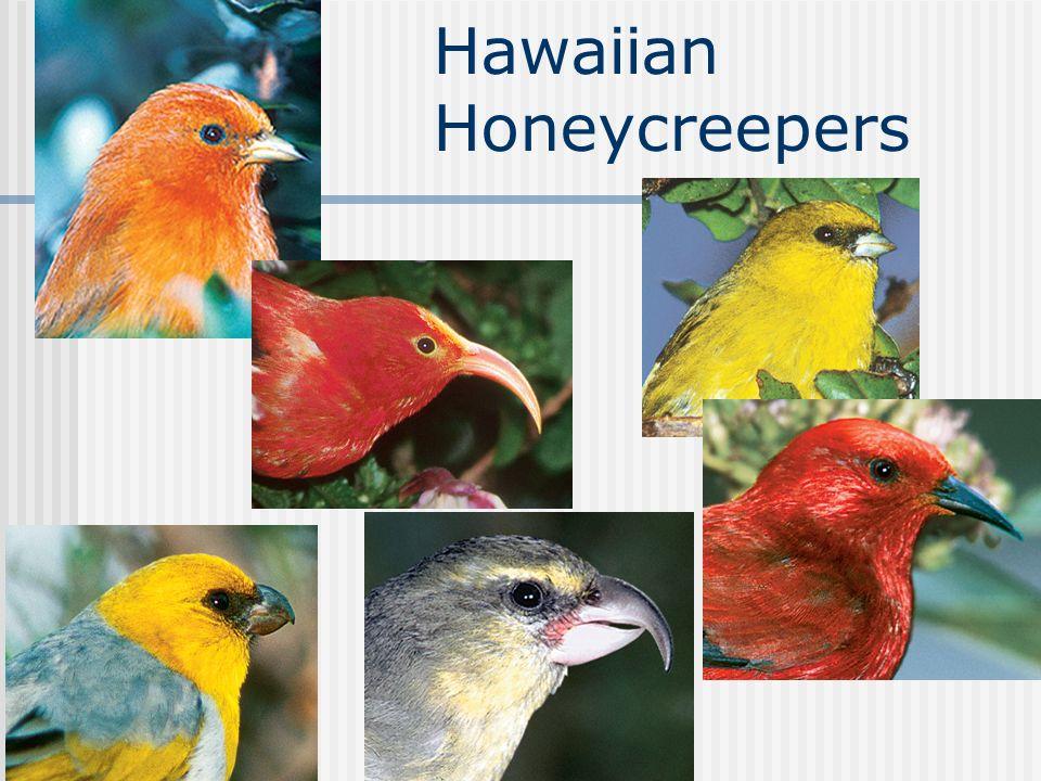 Chapter 19 Hawaiian Honeycreepers
