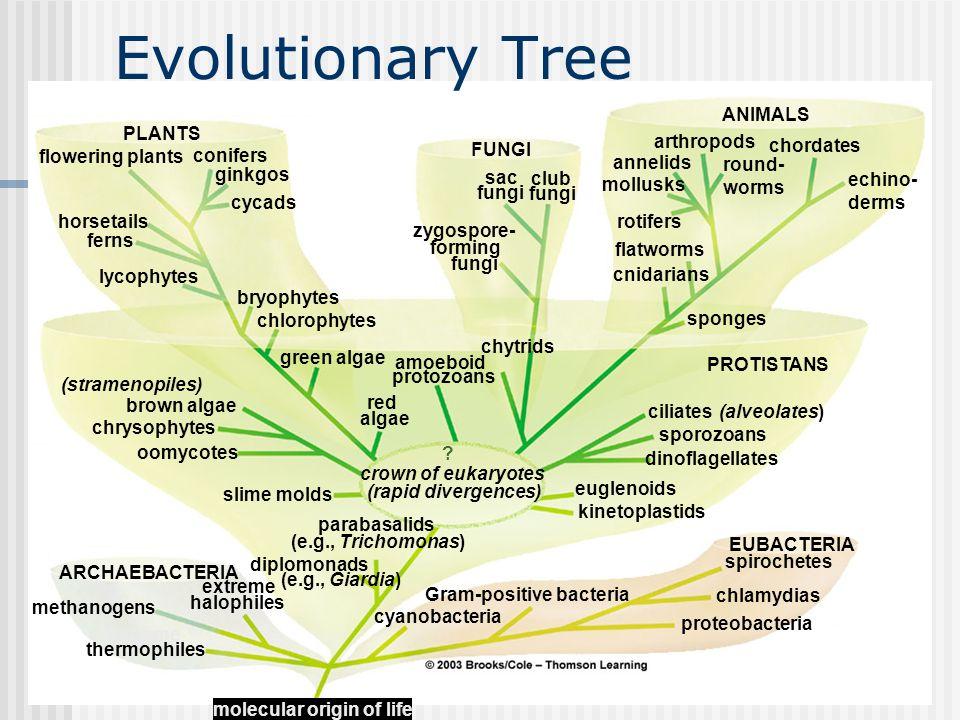 Chapter 19 Evolutionary Tree extreme thermophiles halophiles methanogens cyanobacteria ARCHAEBACTERIA PROTISTANS FUNGI PLANTS ANIMALS club fungi sac f