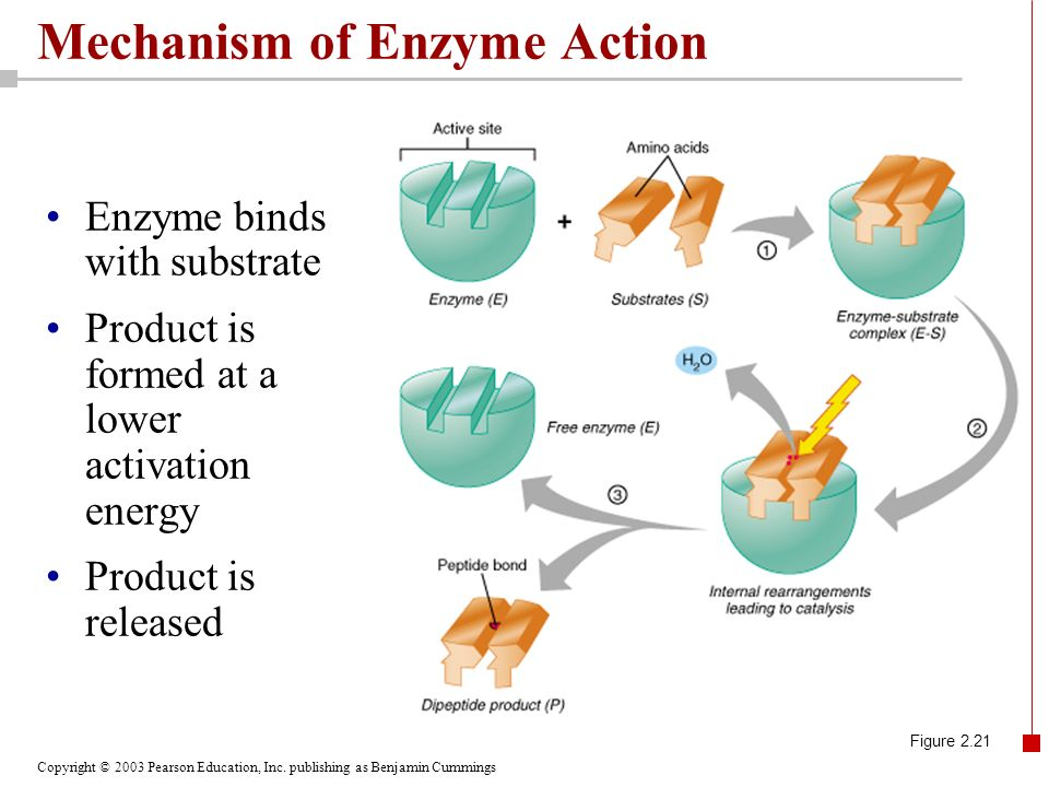 Copyright © 2003 Pearson Education, Inc. publishing as Benjamin Cummings Mechanism of Enzyme Action Enzyme binds with substrate Product is formed at a