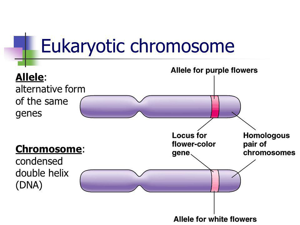 Eukaryotic chromosome Allele: alternative form of the same genes Chromosome: condensed double helix (DNA)
