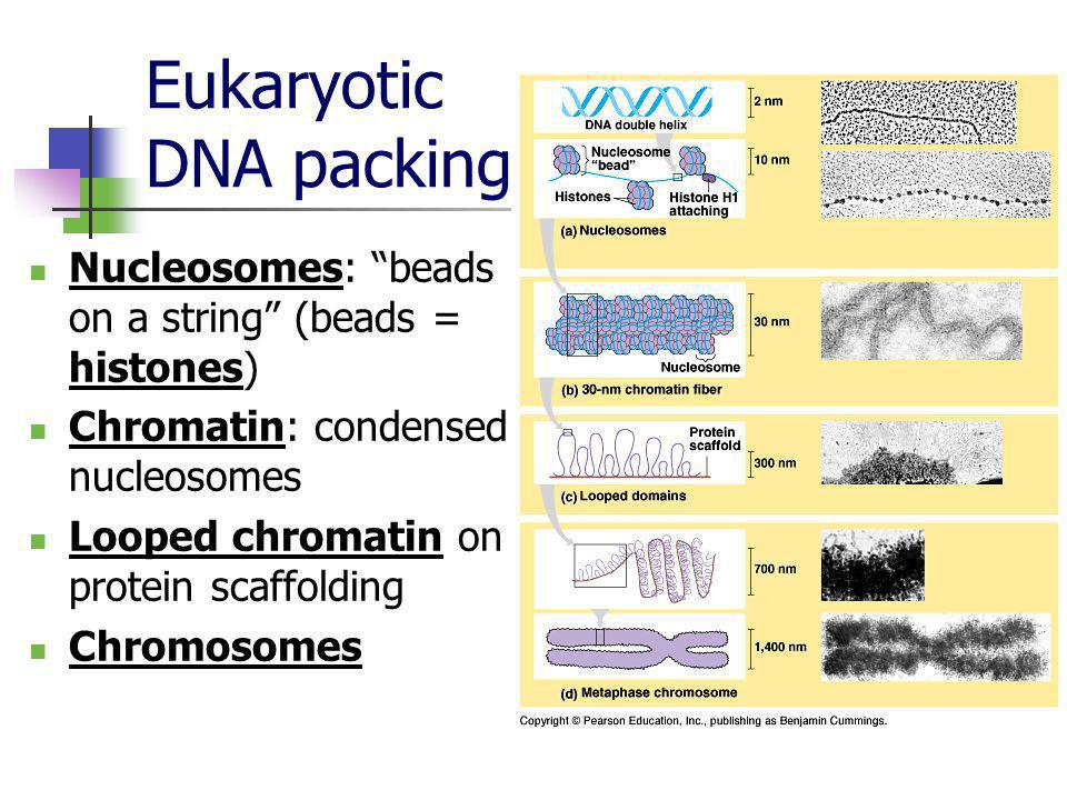 Eukaryotic DNA packing Nucleosomes: beads on a string (beads = histones) Chromatin: condensed nucleosomes Looped chromatin on protein scaffolding Chro