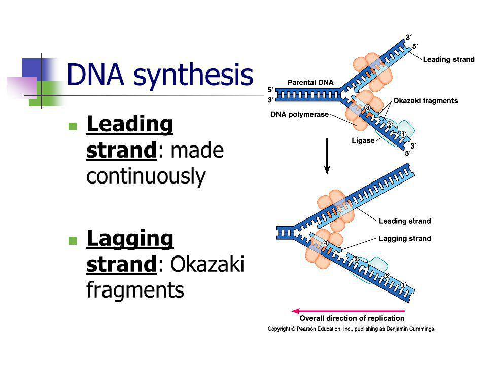 DNA synthesis Leading strand: made continuously Lagging strand: Okazaki fragments