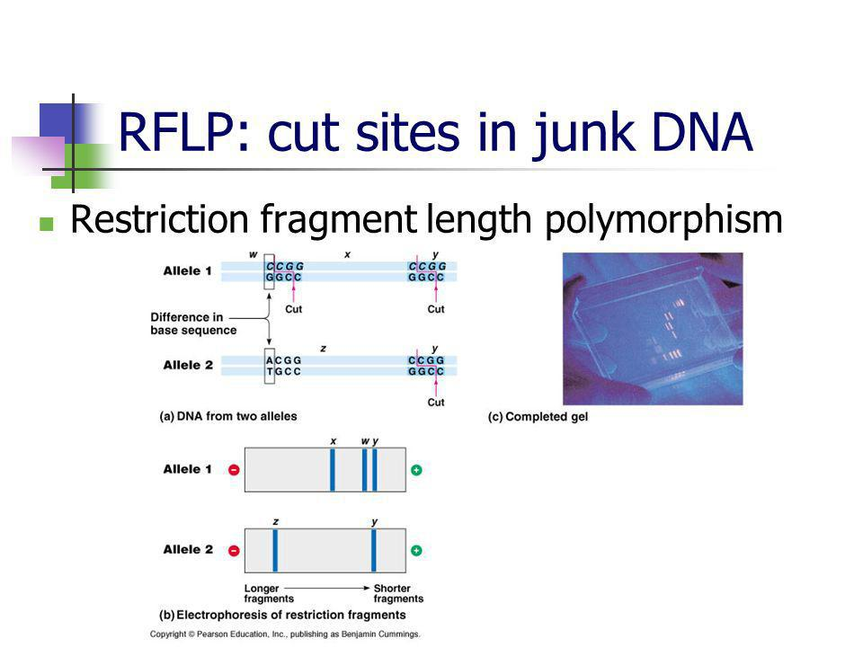 RFLP: cut sites in junk DNA Restriction fragment length polymorphism