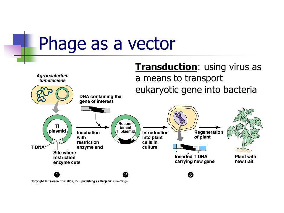 Phage as a vector Transduction: using virus as a means to transport eukaryotic gene into bacteria