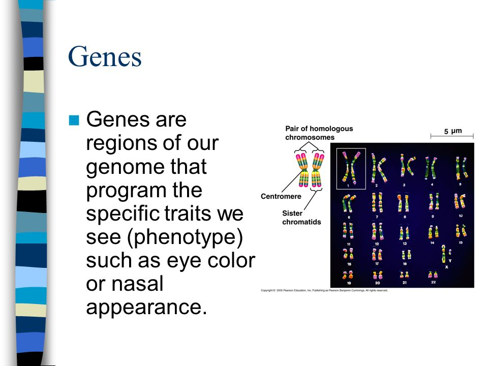 Genes Genes are regions of our genome that program the specific traits we see (phenotype) such as eye color or nasal appearance.