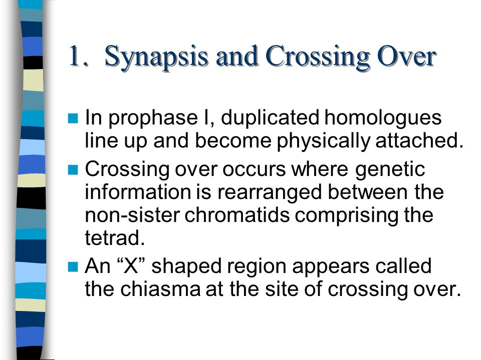 1. Synapsis and Crossing Over In prophase I, duplicated homologues line up and become physically attached. Crossing over occurs where genetic informat